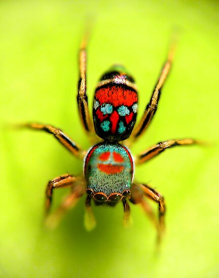Colorful jumping spider - photo#21
