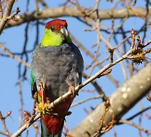 Mrs Red Cap Parrot by Rick Playle