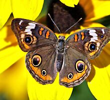 BUCKEYE BUTTERFLY by cdudak