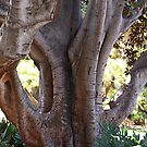 Morton Bay Fig Ficus macrophylla by Eve Parry