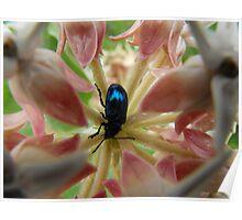 Black-Blue Iridescent Beetle Poster