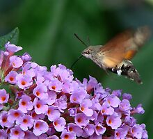 Humming Bird Hawk Moth 1 by jesika