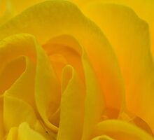 Yellow Rose by Wendy  Meder
