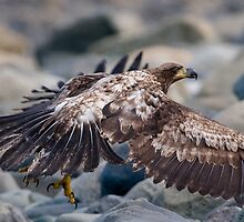 Young Eagle by David Friederich