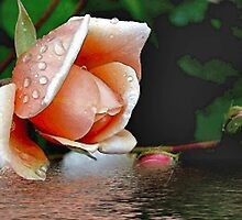 A Rose Afloat  by cooki