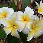 White Plumeria by cookyjar