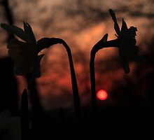 Sunset Daffodils by Martin Griffett