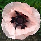 Pink Poppy by sharoncohen