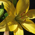 Yellow Lily by Tama Blough