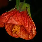 Chinese Lantern by CaseyConnor