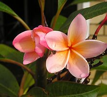 Morning Frangipani by victorialorelle