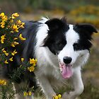 Mollie the collie by mykanmo