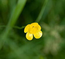 Meadow Buttercup (Ranunculus acris) by Mike Oxley