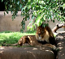 Africian Lion  by Landscapes Mainly .