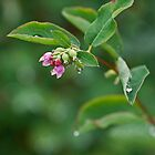 Snowberry by Pauline Rumsey