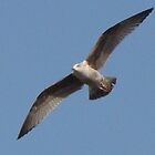 Seagull  by sharoncohen