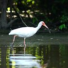 White Ibis Fishing by KSkinner