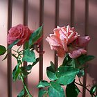 2 roses by Jimmy Joe