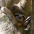 Baby Sloth by Jim Johnson