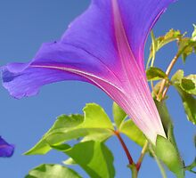 Close Up Of Ipomoea with Leaf and Sky Background by taiche