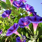 Morning Glory: The Color Purple by taiche