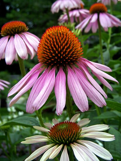 Coneflowers by Kelly Cavanaugh