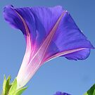Single Ipomoea Purpurea Against Blue Sky by taiche