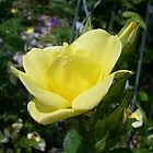 Yellow  Rose of Wisconsin by mussermd