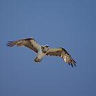 Sea Eagle by Eric Belcher
