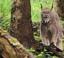 The Lynx by Brian Carey