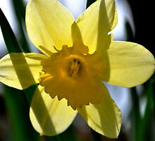Daffodil Transparent by TaraLayman
