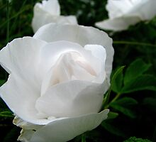 Glowing white rose by Patty Gross