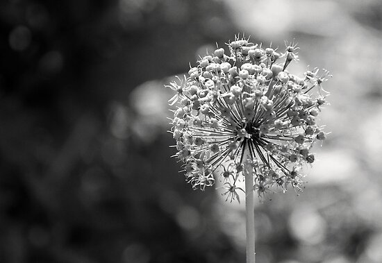 Allium by Robin Webster