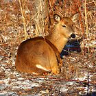 Resting Deer by Toua Lee