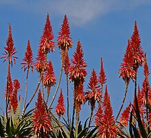 Aloes by laureenr