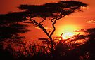 Acacia Sunset by Karl Williams