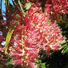 Melaleuca hypericifolia (Red Flowering Paperbark) by 4spotmore