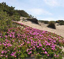 Circeo's sand dunes - National Park of Circeo - Latium - Italy by Daniela Cifarelli