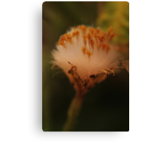 Fluffy (from wild flowers collection) Canvas Print