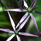 Large Allium by Damie-anne