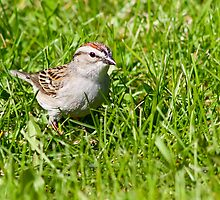 Chipping Sparrow by Teresa Zieba
