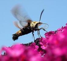 'Snowberry Clearwing Moth 2' by Scott Bricker