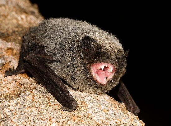 The hoary wattled bat (Chalinolobus nigrogriseus) is a