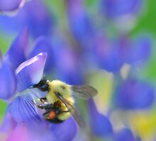 Bee and Lupine by Nancy Barrett