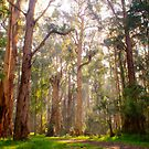 Light shining through the trees at Olinda Falls by Elana Bailey