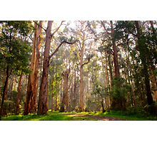 Light shining through the trees at Olinda Falls Photographic Print