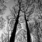 Blackened trees stand tall in the Yarra Ranges National Park by Elana Bailey
