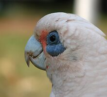 Corella 2 by Caroline Scott