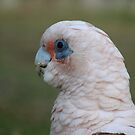 Corella by Caroline Scott