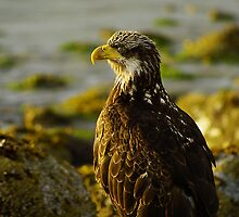 Eagle eye by Al Williscroft